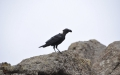 Crows are ever-present