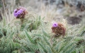 Mountain thistle (Carduus koniensis)