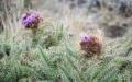 Mountain thistle (Carduus koniensis)